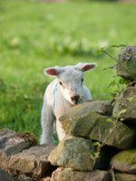 Year-C-Pentecost-Proper-09-Lamb