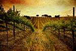 Year-A-OT-25-Vineyard