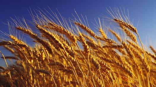 Year-A-OT-11-Wheat-Harvest