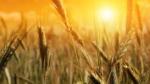 Year-B-Epiphany-9-Wheat-field