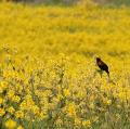 Year-B-OT-11-Mustard-Field