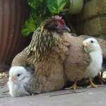 Year-C-Lent-2-Hen-Chicks-Square