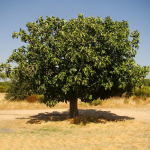 Year-C-Lent-3-Fig-Tree-Square