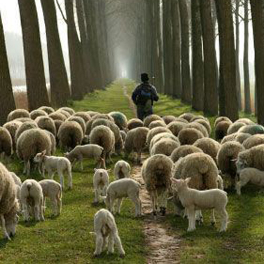 Year-C-Easter-4-Sheep-Following-Square