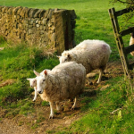 Year-A-Easter-4-Sheepgate-Square