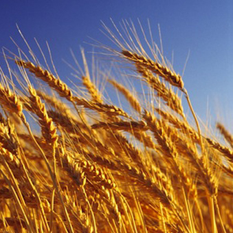 Year-A-OT-11-Wheat-Harvest-Square